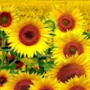 Sunflower333