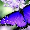 Purple75
