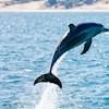 Dolphin-991