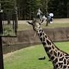 ZenGiraffe