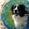 Colliedogs4me