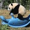 PandaBum
