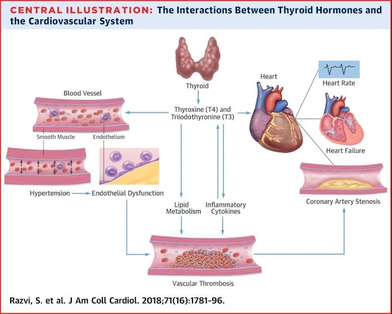 Thyroid Hormones And Cardiovascular Function An Thyroid Uk